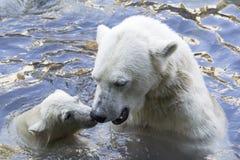 Orsi polari che accolgono immagine stock libera da diritti