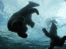 Orsi polari che nuotano Immagini Stock Libere da Diritti
