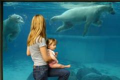 Orsi polari della vigilanza del bambino e della madre Fotografia Stock