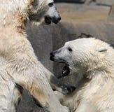 Orsi polari lottanti immagini stock