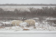 Orsi polari maschii che hanno un contrappeso Fotografie Stock