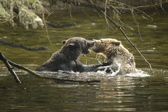 Orsi. Two baby bears two years playing in the river Royalty Free Stock Photo
