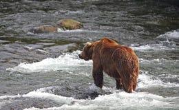 Orso al fiume dei ruscelli Immagine Stock