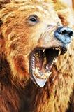 Orso in alpi svizzere Immagine Stock