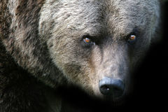 Orso arrabbiato Fotografia Stock Libera da Diritti