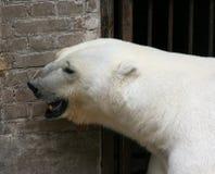 Orso bianco Fotografia Stock Libera da Diritti