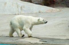 Orso bianco Fotografie Stock