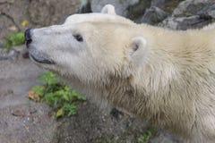 Orso bianco Immagini Stock Libere da Diritti
