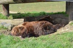 Orso bruno Fotografia Stock