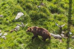Orso bruno Fotografie Stock