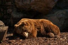 Orso bruno fotografie stock libere da diritti