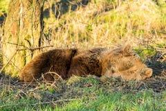 Orso bruno addormentato (arctos di ursus) fotografia stock