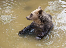 Orso bruno (arctos di arctos di ursus) che si siede in acqua Immagini Stock Libere da Diritti