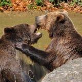 Orso bruno, arctos di ursus Immagine Stock Libera da Diritti