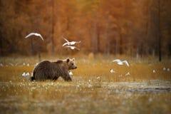 Orso bruno che attraversa la palude Fotografia Stock