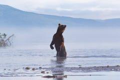 Orso bruno che esplora e che fiuta per la caccia di color salmone Fotografie Stock