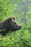 Orso bruno che guarda da un cespuglio immagini stock