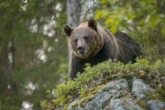 Orso bruno che guarda giù, selvaggio in Finlandia Fotografie Stock