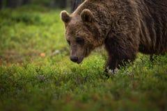 Orso bruno che mangia i mirtilli Immagine Stock