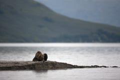 Orso bruno che mette sul lago Immagini Stock Libere da Diritti