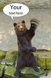 Orso bruno che ondeggia la sua zampa il vostro concetto del testo qui Fotografia Stock
