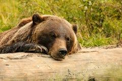 Orso bruno che riposa su un ceppo Immagini Stock Libere da Diritti
