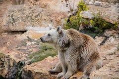 Orso bruno che si siede sulla roccia Immagini Stock