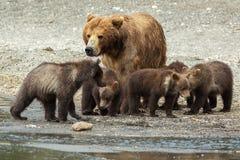 Orso bruno con i cuccioli sulla riva del lago Kurile Immagine Stock