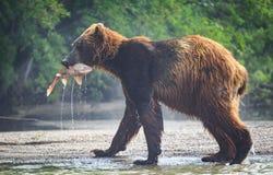 Orso bruno con pranzo di color salmone nella sua bocca nel lago Kuril fotografie stock libere da diritti