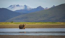 Orso bruno costiero fotografia stock libera da diritti