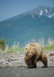 Orso bruno dell'Alaska Fotografia Stock