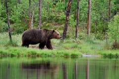 Orso bruno dopo la pioggia Fotografia Stock Libera da Diritti
