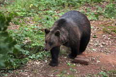 Orso bruno euroasiatico (arctos di arctos di ursus) Fotografia Stock Libera da Diritti
