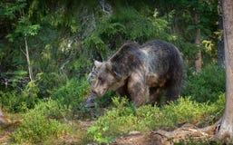 Orso bruno euroasiatico nella foresta di rivestimento Fotografie Stock
