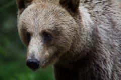 Orso bruno in foresta finlandese Fotografia Stock