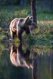 Orso bruno in foresta finlandese con la riflessione dal lago Immagini Stock Libere da Diritti