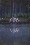 Orso bruno in foresta finlandese con la riflessione dal lago Fotografia Stock Libera da Diritti