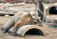 Orso bruno grande di rilassamento Immagine Stock Libera da Diritti