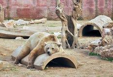 Orso bruno grande di rilassamento Fotografia Stock Libera da Diritti