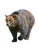 Orso bruno isolato su bianco, Siberia - Russia Immagine Stock Libera da Diritti