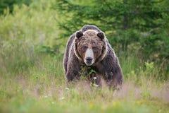 Orso bruno maschio aggressivo massiccio Arctos di ursus vista frontale sul prato e sulla foresta di estate nel fondo immagine stock