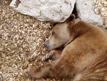 Orso bruno in natura Fotografia Stock Libera da Diritti