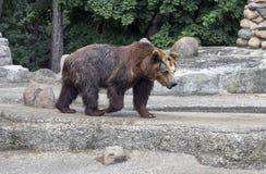 Orso bruno nel parco di Praga - parco di Praski vicino allo zoo a Varsavia, Polonia Immagini Stock