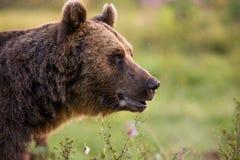 Orso bruno nel verde Fotografia Stock