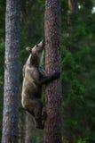 Orso bruno nell'albero rampicante della foresta della Finlandia Fotografia Stock