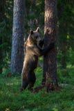 Orso bruno nell'albero rampicante della foresta della Finlandia Fotografia Stock Libera da Diritti