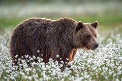 Orso bruno nella foresta di estate sulla palude fra i fiori bianchi immagine stock