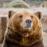 Orso bruno nello zoo Fotografia Stock