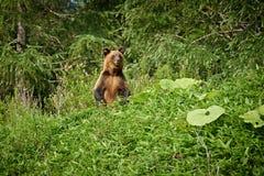 Orso bruno selvaggio nell'Hokkaido, orso grigio di Ussuri Immagini Stock Libere da Diritti