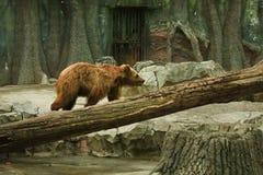Orso bruno in zoo Fotografie Stock Libere da Diritti